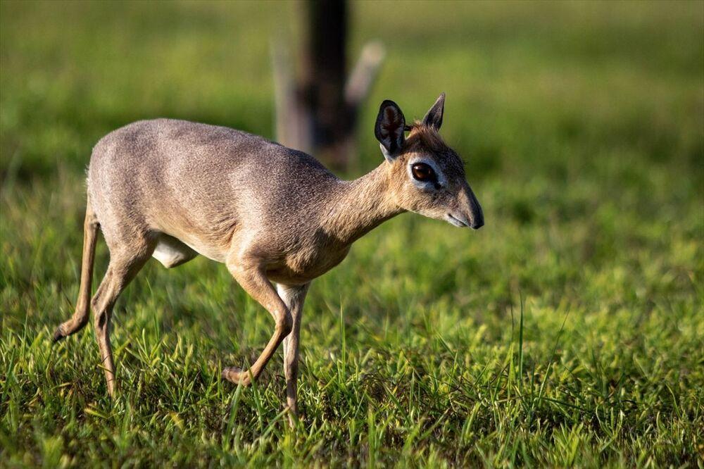 Dik-Dikler Afrika'nın doğusunda daha çok Kenya, Tanzanya, Etiyopya ve Somali'de yaşıyor.