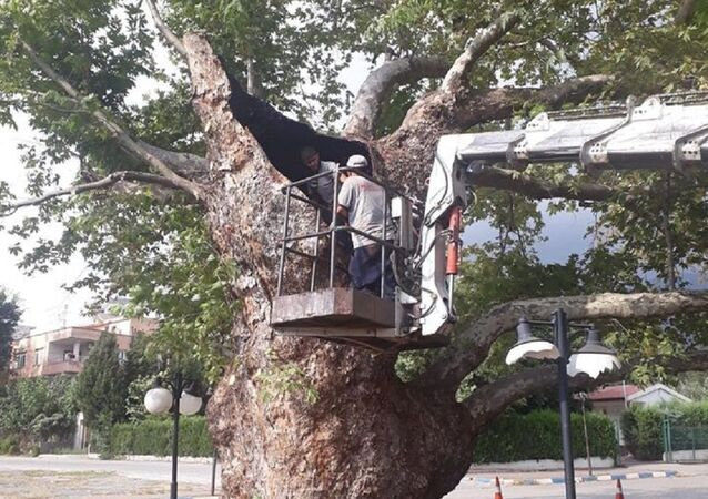 600 yaşındaki tarihi çınar ağacı tedavi edildi