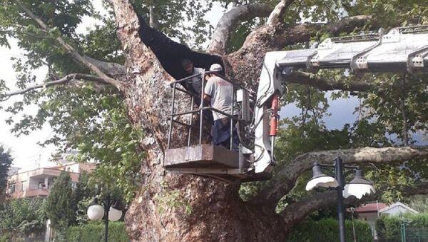 600 yaşındaki tarihi çınar ağacı tedavi edildi - Sputnik Türkiye