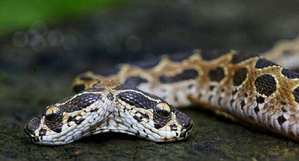 Asya'nın en tehlikeli çift başlı engerek yılanı Hindistan'da bulundu