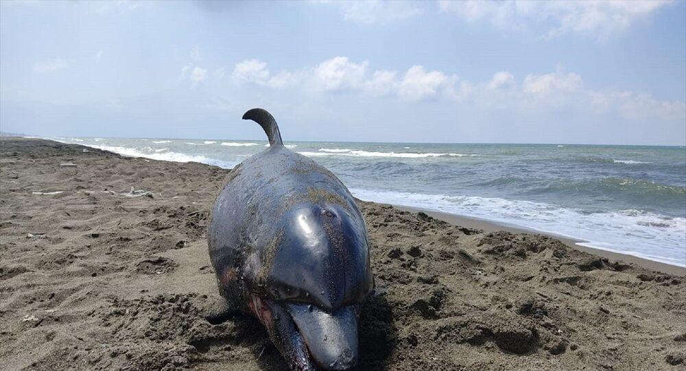 Hatay'ın Samandağ ilçesinde telef olan yunus kıyıya vurdu.