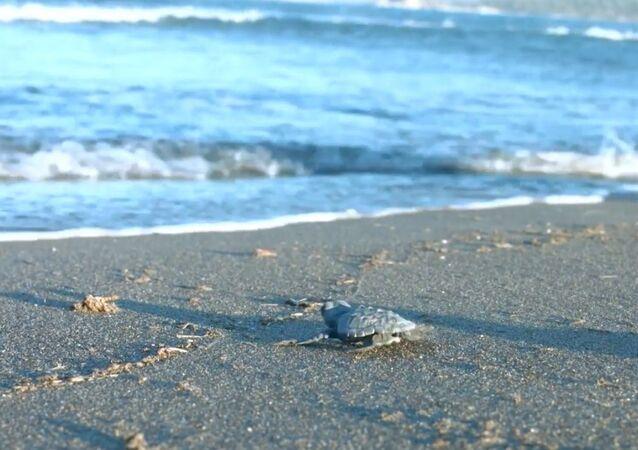 Koronavirüs döneminde, rekor sayıda yavru deniz kaplumbağası denize ulaştı