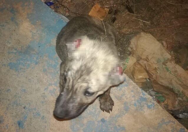 Batman'ın Kozluk ilçesinde kimliği henüz belirlenemeyen kişi veya kişiler tarafından iki köpek yavrusunun kulakları kesildi.