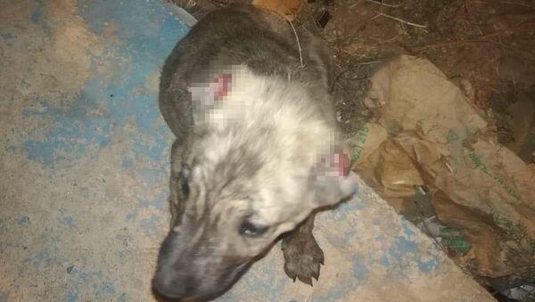 Batman'ın Kozluk ilçesinde kimliği henüz belirlenemeyen kişi veya kişiler tarafından iki köpek yavrusunun kulakları kesildi. - Sputnik Türkiye