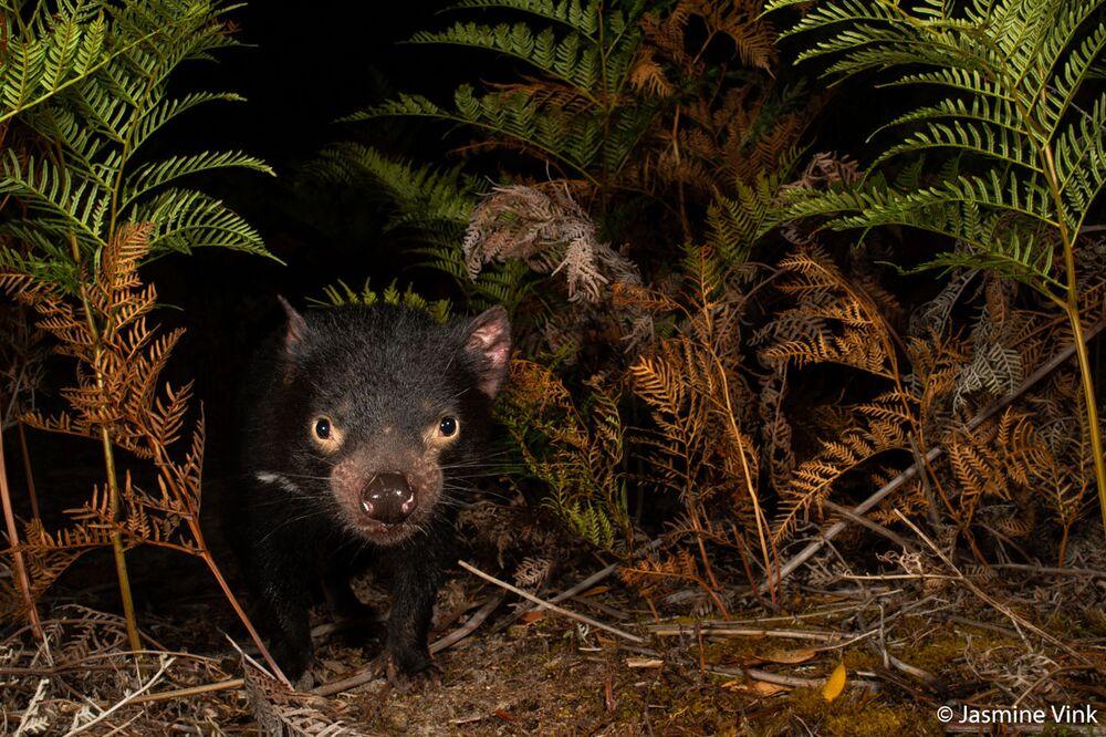 Yarışmanın Tehdit Altındaki Türler kategorisinde birinci seçilen Jasmine Vink'in Tasmanian Devil görüntüsü