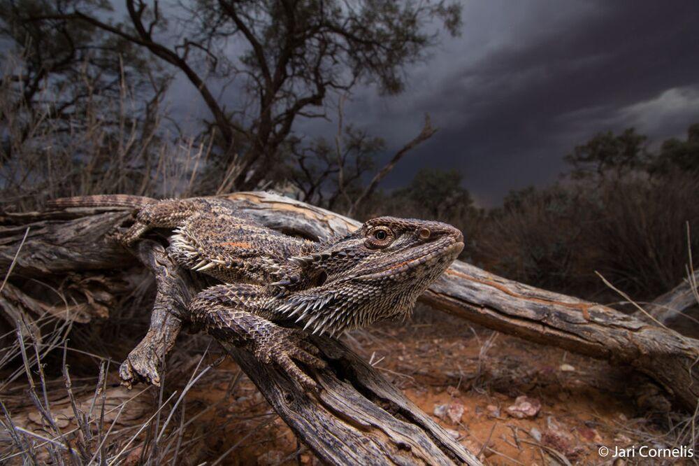 Yarışmanın Hayvan Habitatı kategorisinde birincilik kazanan Jari Cornelis'in Storm Dragon isimli çalışması