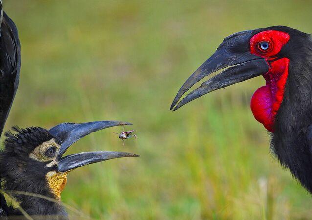 Yarışmanın Hayvanların avranışı kategorisinde övgüye layık görülen fotoğrafçı Varun Thakkar'ın Breed The Red çalışması
