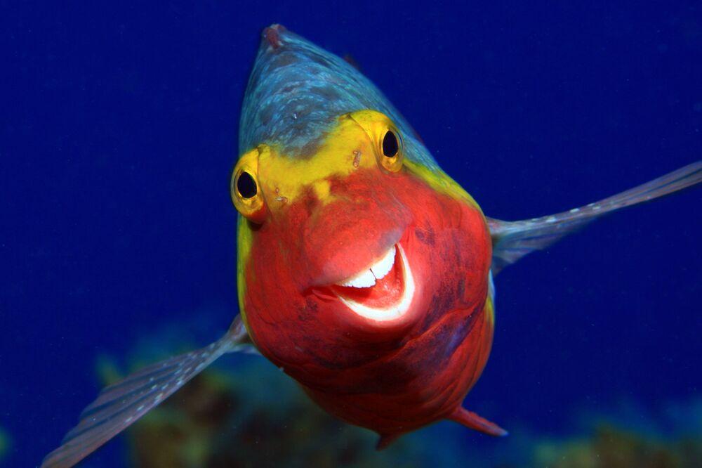 Yarışma finalistlerinden Arthur Telle Thiemenn'in Kanarya Adaları'nda çektiği  Gülümse!  fotoğrafında sparisoma cretense türü balık görüntülendi