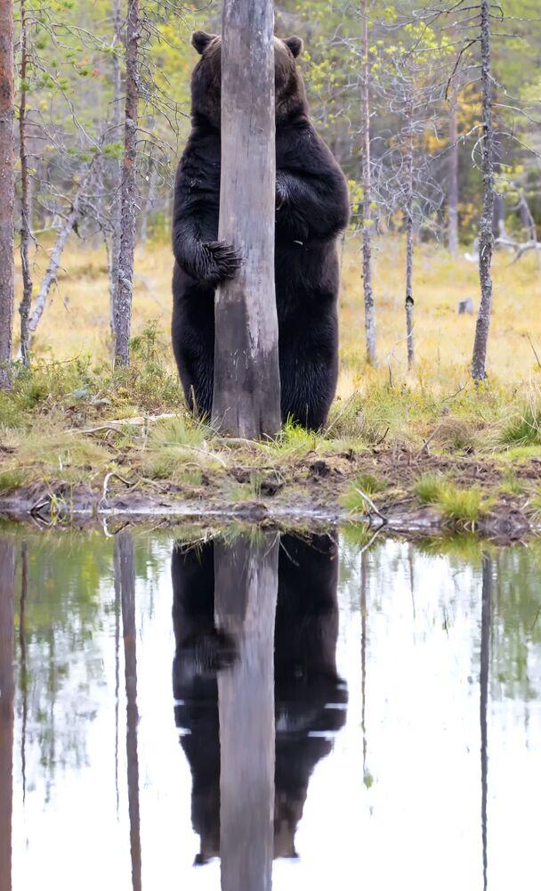 Finale kalanlardan fotoğrafçı Esa Ringbom, ağaç arkasında saklanan boz ayını Finlandiya'daki bir ormanda görüntüledi
