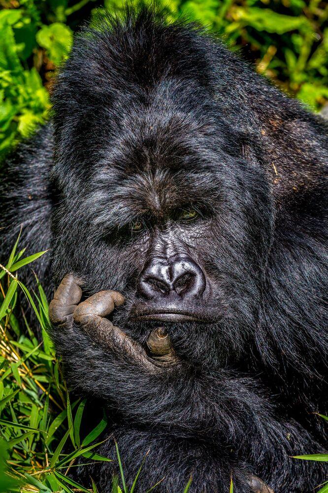 Yarışmanın finalistlerinden Marcus Westberg'in Can sıkıntısı isimli fotoğrafında Uganda Ulusal Parkı'nda yaşayan Mgahinga gorili görüntülendi