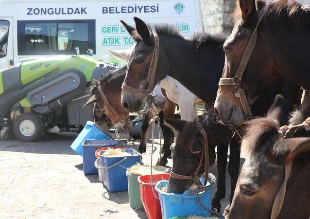 Katır - Zonguldak Belediyesi'nde katırlara emeklilik töreni