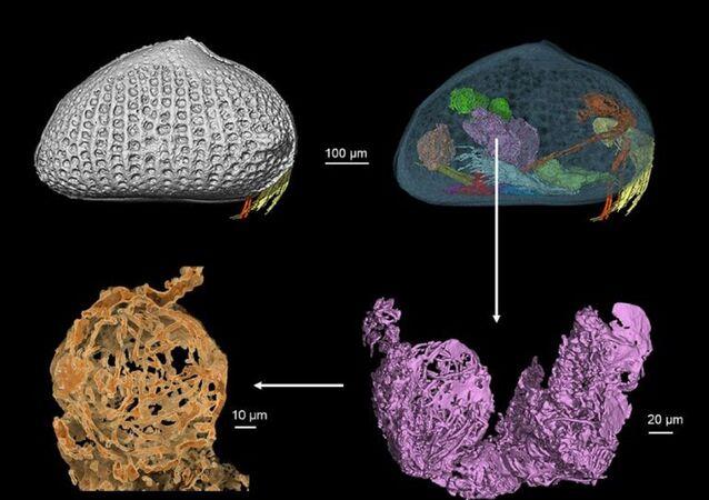 Myanmar'da 100 milyon yıl öncesine ait küçük kabuklu bir hayvanın kalıntısının içinde 'dev' bir hayvan spermi bulundu. Sperm, dünyanın en eski hayvan spermi olarak kayıtlara geçti.