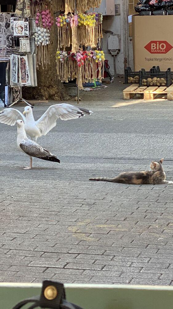 Adalar'da görüntülenen martılar ve kedi