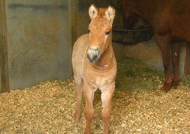 ABD'de ilk klonlanan Przewalski atı doğdu