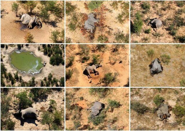 Afrika ülkesi Botsvana'da son aylarda yüzlerce filin ölü bulunmasıyla ilgili soruşturmada, sudaki bakterilerin ürettiği zehirlerden şüpheleniliyor.