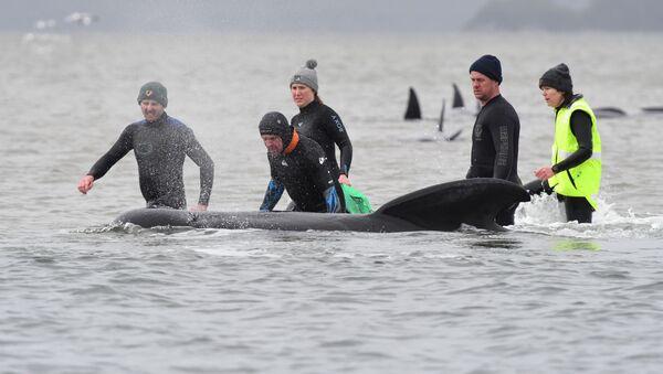 Tasmanya eyaletinin başkentiHobart'ın 200 km kuzeybatısındakiMacquarie Limanı'nda kumluğa vuran çok sayıda pilot balinayı kurtarma çalışmaları - Sputnik Türkiye