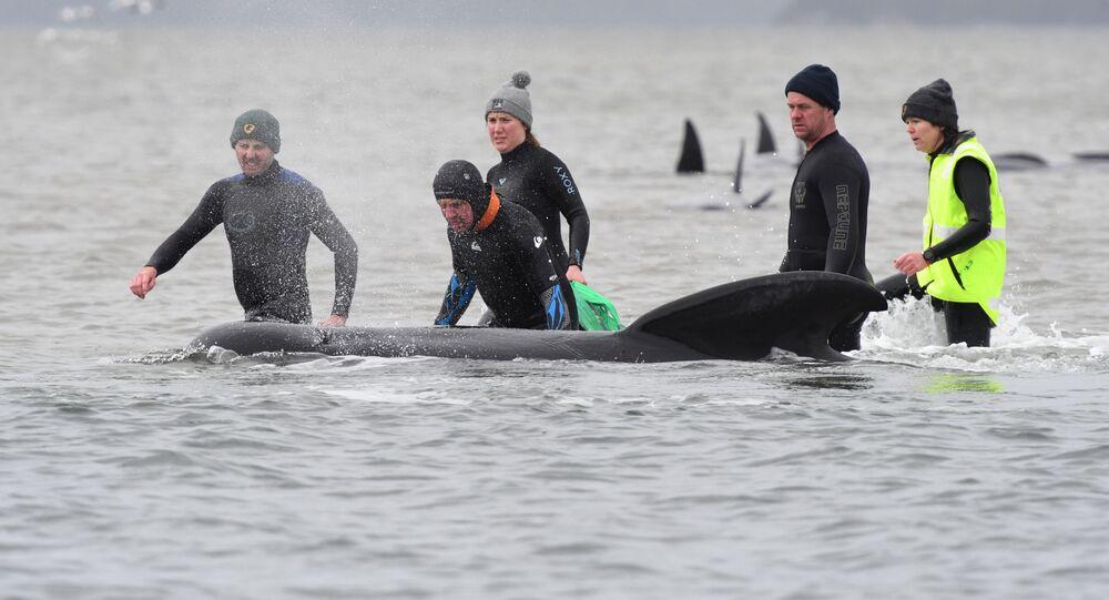 Tasmanya eyaletinin başkentiHobart'ın 200 km kuzeybatısındakiMacquarie Limanı'nda kumluğa vuran çok sayıda pilot balinayı kurtarma çalışmaları