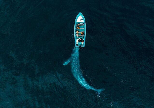 Yarışmanın Doğa kategorisinde birincilik kazanan Joseph Cheires'in Gray Whale Plays Pushing Tourists isimli fotoğrafı
