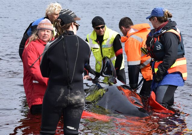 balina - kurtarma - Avustralya - Tasmanya