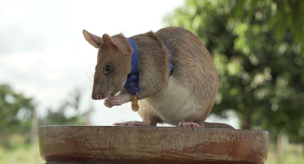 Magawa - sıçan -
