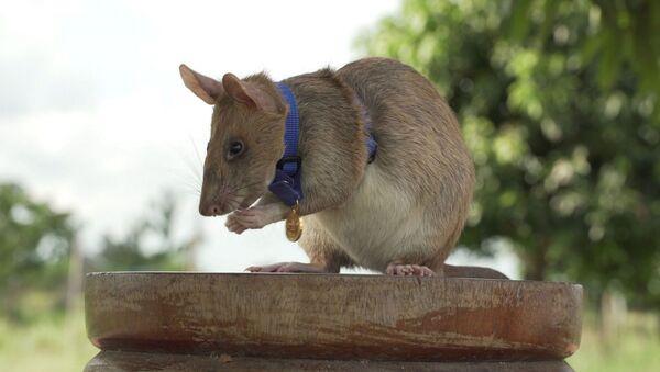 Magawa - sıçan - - Sputnik Türkiye