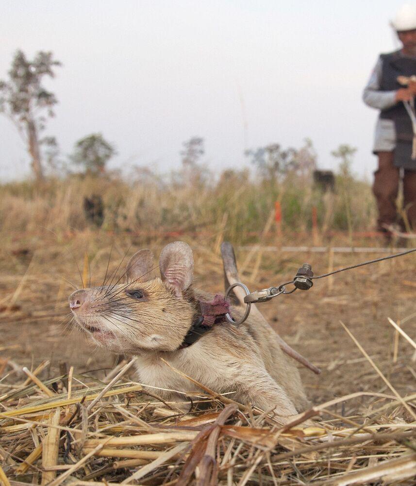 Magawa, 1.2 kg ağırlığı ve 70 cm uzunluğuyla diğer sıçanlara göre büyük olsa da mayınların patlamasını tetikleyecek kadar ağır değil