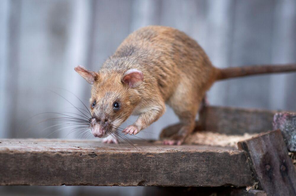 İngiltere merkezli hayvanlara yardım örgütü Hasta Hayvanlar için Halk Dispanseri'nin (PDSA) altın madalyasına layık görülen ilk sıçan Magawa