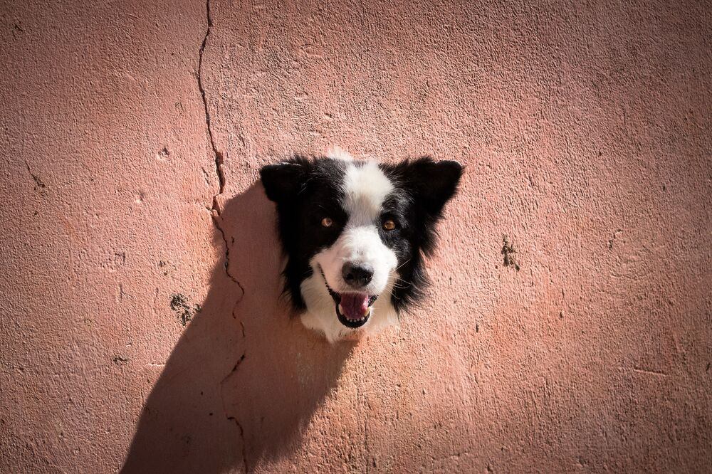 Mars Petcare Komik Evcil Hayvan Fotoğrafları Yarışması 2020 finalistlerinden Brezilyalı fotoğrafçı Antonio Peregrino'nun Living Trophy fotoğrafı