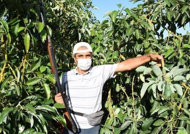 Antalya'nın Kumluca ilçesindeki avokado bahçeleri, hırsızların yeni hedefi oldu. Avokadonun tanesinin pazarda 10 liraya satılması sonrasında, ilçedeki birçok bahçede hırsızlık yaşandı. Üreticiler, hırsızlara karşı önlem almaya başladı.