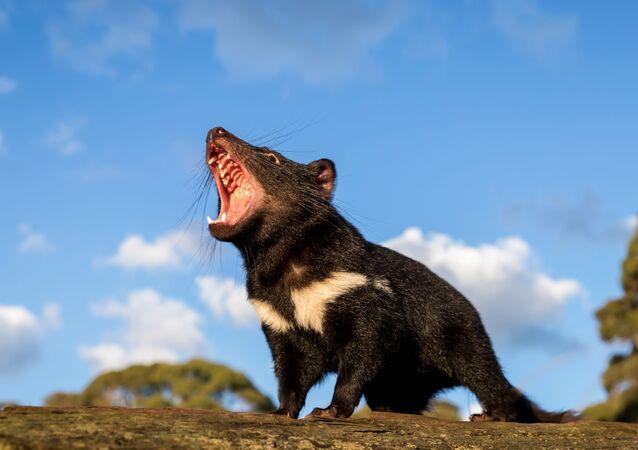 Avustralyalı Nuh'un Gemisi örgütü, Avustralya anakarasında doğaya saldığı Tazmanya canavarlarının görüntülerini paylaştı.