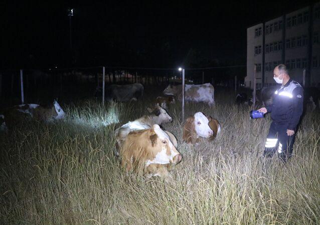 Sivas'ta kaybolan 18 büyükbaş hayvan, Cumhuriyet Üniversitesi yerleşkesine girdi. İnekler sahipleri bulunana kadar Veterinerlik Fakültesi çitleri arasında koruma altına alındı.