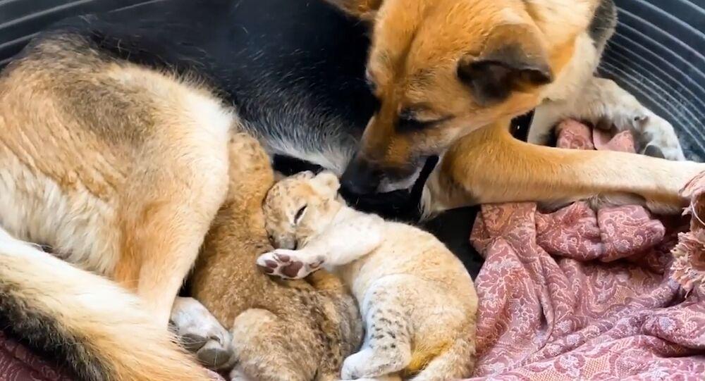 Rusya'da Alman kurdu cinsi köpek, aslan yavrularına annelik yaptı