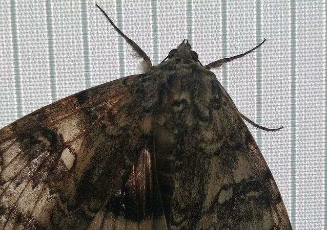 Ukrayna'nın Çernobil radyasyon ve ekolojik biyosfer rezervinde, ancak bir kuşta karşılaştırılabilecek büyüklükte, nadir bir kelebek türü bulundu.