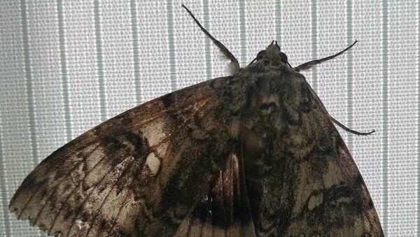 Ukrayna'nın Çernobil radyasyon ve ekolojik biyosfer rezervinde, ancak bir kuşta karşılaştırılabilecek büyüklükte, nadir bir kelebek türü bulundu. - Sputnik Türkiye