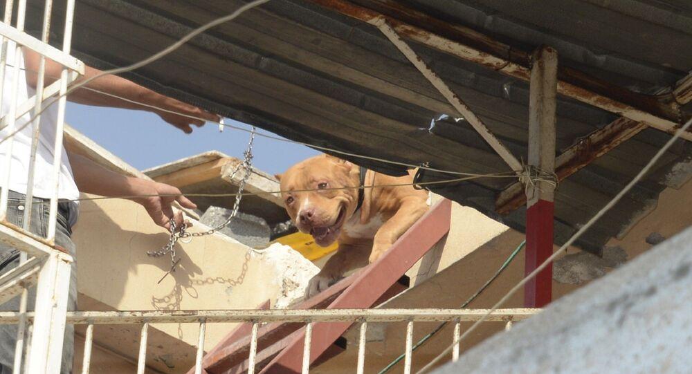 Pitbull köpek - Adana