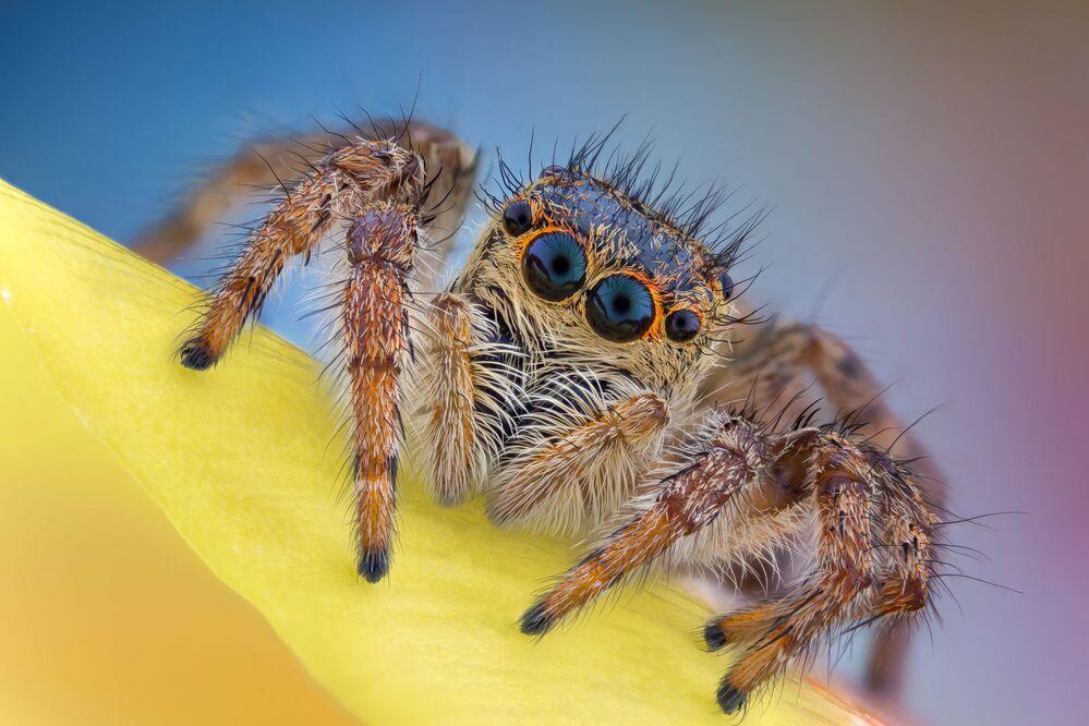 2020 Nikon Küçük Dünya Fotoğraf Yarışması'nda dereceye girenlerden Romanyalı fotoğrafçı Andrei Nica'nın Zıplayan Örümcek isimli çalışması