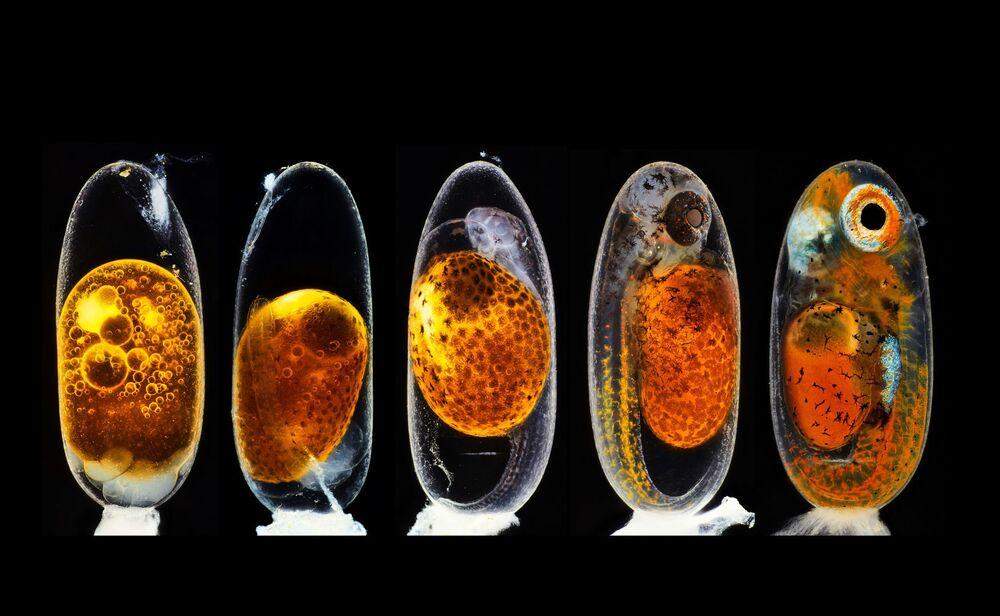2020 Nikon Küçük Dünya Fotoğraf Yarışması'nda ikinci seçilen Alman fotoğrafçı Daniel Knop'un fotoğrafında 1. 3. (sabah ve akşam), 5. ve 9. günlerde bir palyaço balığının (Amphiprion perkula) embriyonik gelişimi görüntülendi