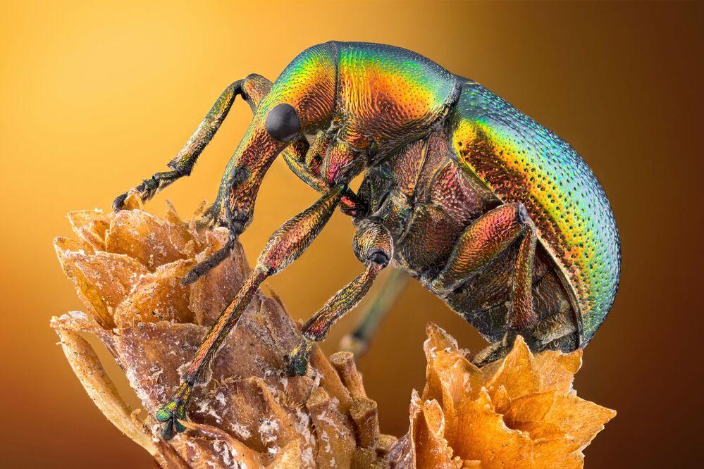 2020 Nikon Küçük Dünya Fotoğraf Yarışması'nın ilk 20 çalışması arasına giren Türk fotoğrafçı Özgür Kerem Bulur'un görüntülediği yaprak kurdu bitinin (Byctiscus betulae) yandan görünüşü