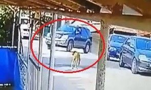 Kocaeli'nin Gölcük ilçesinde cipi ile seyir halinde olan bir sürücü, sokak ortasında yatan köpeğin üzerinden geçti. Sürücü yoluna devam ederken aracın altında kalan köpek ise öldü.