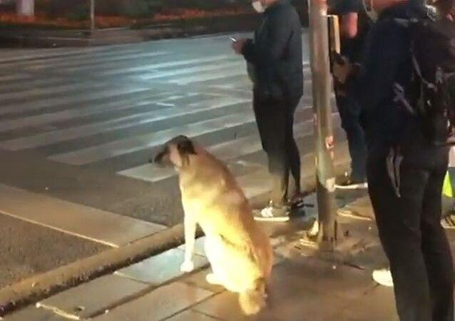 Ankara'nın Çankaya ilçesinde bir sokak köpeğinin vatandaşlarla birlikte yaya geçidinde yeşil ışığının yanmasını beklemesi görüntülendi.