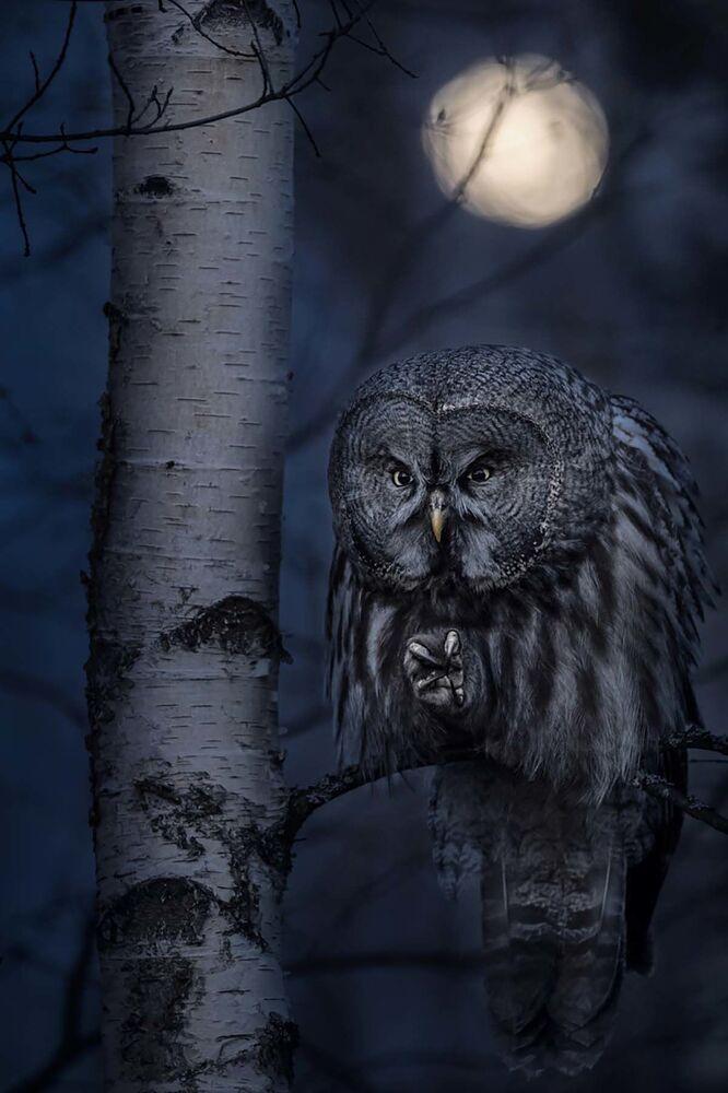 Yarışmanın 'Hayvanların Doğal Yaşam Alanı' kategorisinin birincisi İsveçli fotoğrafçı Jonas Classon'un Gece Avcısı çalışması