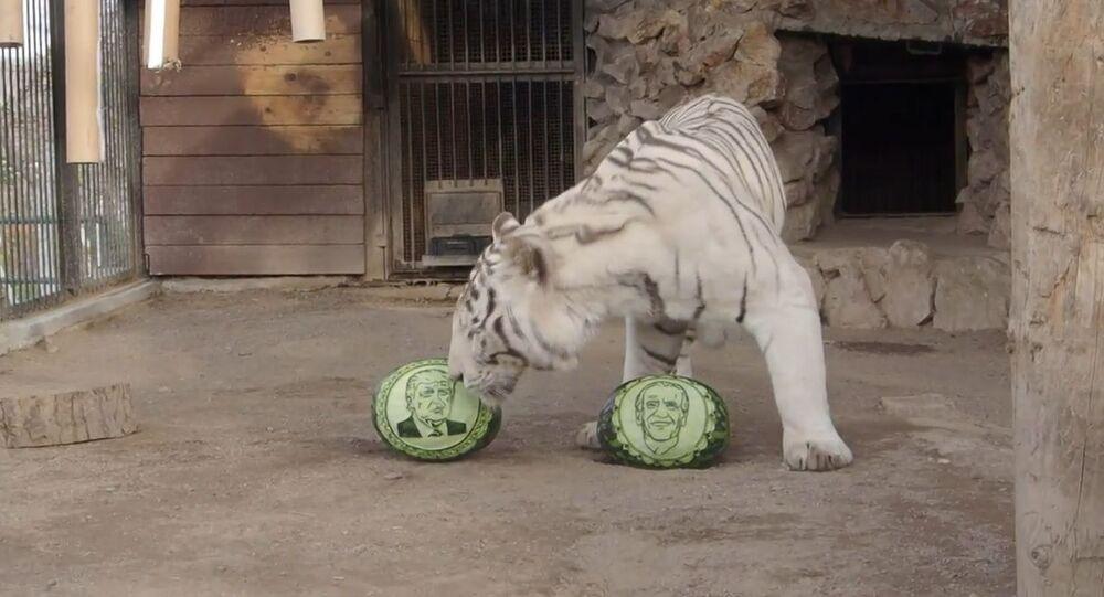 Rusya'da bir hayvanat bahçesindeki hayvanlar ABD başkanlık seçimlerine dair kehanette bulundu