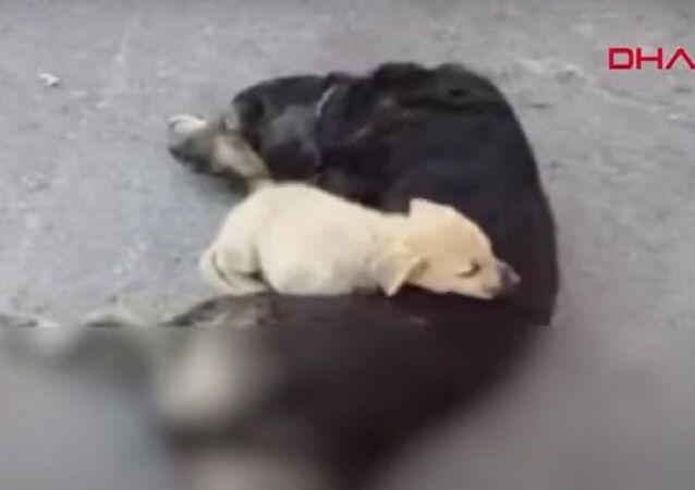 Bartın'da, yaralanan köpeğin yavrusu annesinin yanından ayrılmadı