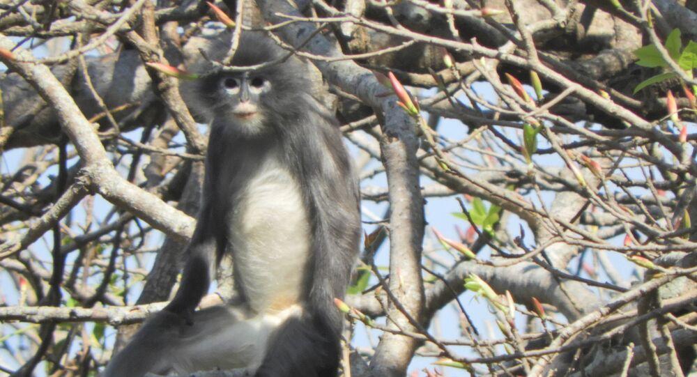 Myanmar'da nesli tükenme tehdidinde olan yeni bir primat