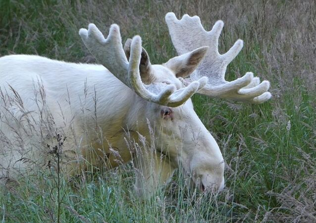İsveç'in meşhur erkek beyaz ren geyiği