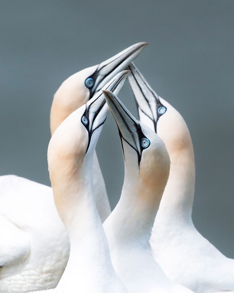 Agora 2020 Yılının En İyi Fotoğrafları Yarışması'nın finalistlerinden İngiliz yarışmacı Joe Shelly'nin çektiği sümsük kuşlarının fotoğrafı