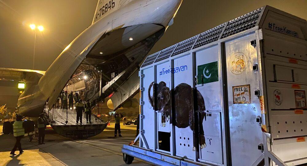 Kaavan isimli fil, uçağa bindirilerek Pakistan'dan Kamboçya'daki doğal yaşam sığınağına nakledildi.