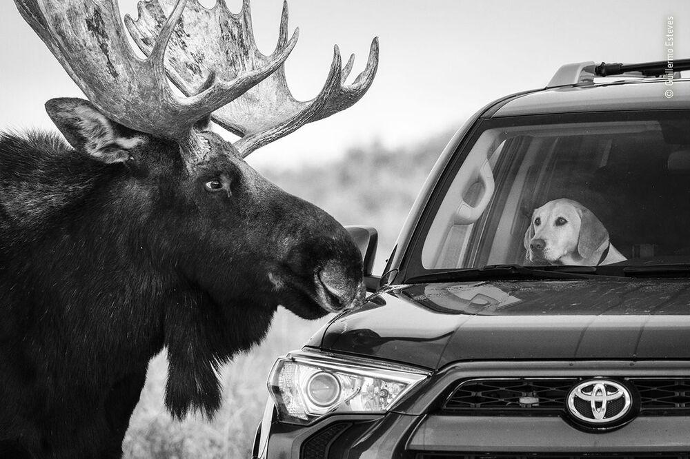 Yılın Vahşi Yaşam Fotoğrafçısı Yarışması  kapsamında düzenlenen 2020 Halkın Seçimi Ödülü'nün kısa listesine giren ABD'li fotoğrafçı  Guillermo Esteves'in fotoğrafı, ABD'nin Wyoming eyaletindeki Grand Teton Milli Parkı'nda çekildi
