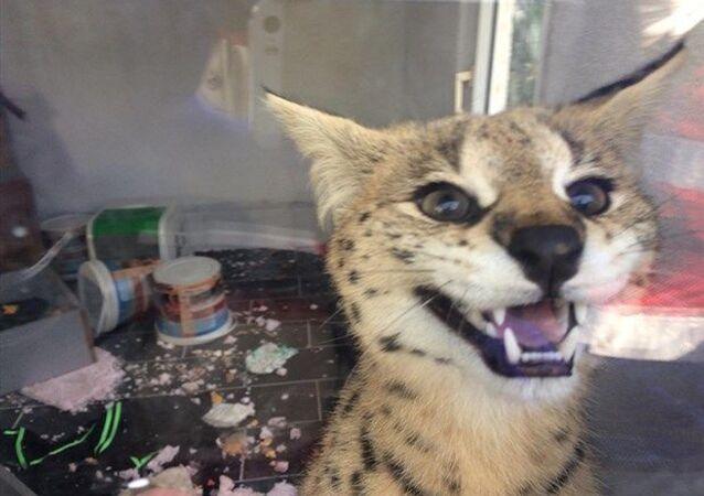 Sakarya'da kaçakçılık şube ekipleri bir eve ihbar üzerine operasyon düzenledi. Evde Savannah cinsi yaban kedisi bulundu.