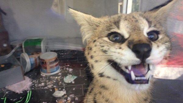 Sakarya'da kaçakçılık şube ekipleri bir eve ihbar üzerine operasyon düzenledi. Evde Savannah cinsi yaban kedisi bulundu. - Sputnik Türkiye